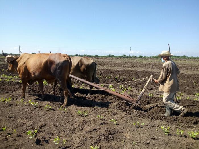 Aprovechamos la siembra de cultivos de ciclo corto, por lo que dentro de poco ya debemos tener alimentos para nosotros y para el pueblo, señala Orestes Exabie.  Foto de la autora