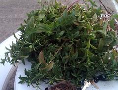 Montclair Mint