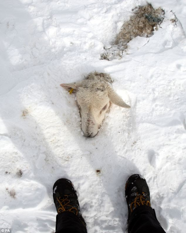 Deadly winter: A dead sheep can be seen buried in snow drifts above the Glens of Antrim as thousands of others are feared dead in the area