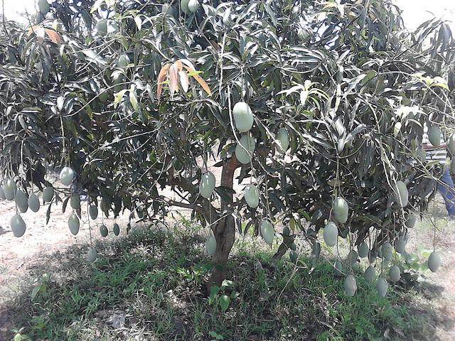Mango_Sirsi