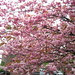 it's cherry blossom time of year again