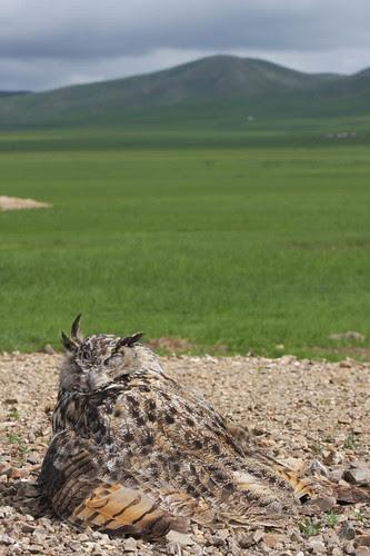 Owl on road