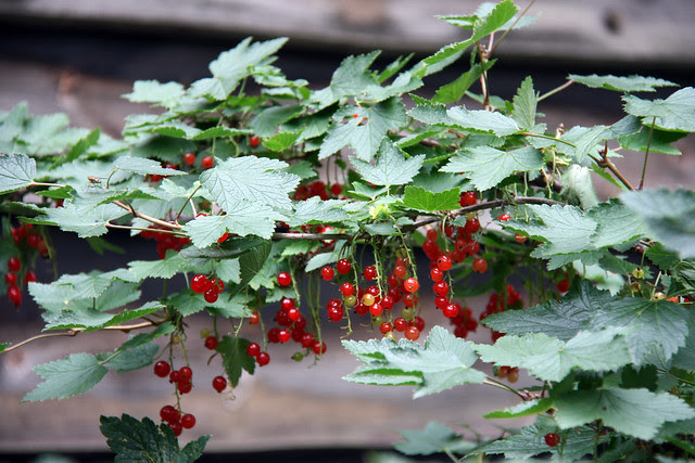 IMG_2670 red currants