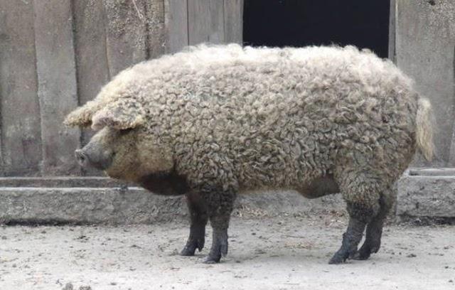 Este cerdo con pinta de oveja no es un fake