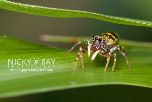 Jumping Spider (Salticidae) - DSC_8069
