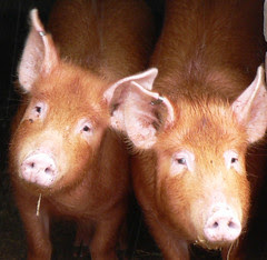 Living With Pigs Safer Than Living With Humans