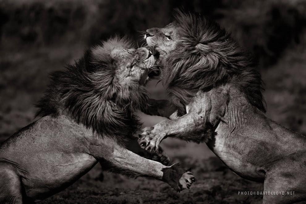 Разборка львов