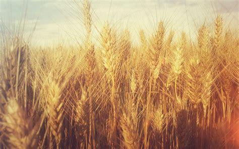 Grain Tumblr Wheat Wallpaper Desktop Wallpaper   WallpaperLepi