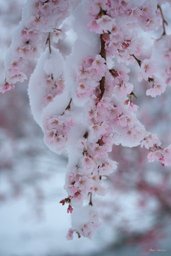 Blossoms under Snow.