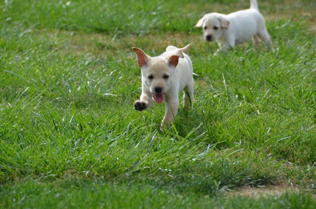 Idaho AKC Labs   Buy Yellow Lab Puppies For Sale In Idaho USA