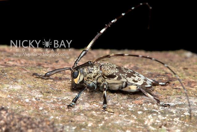 Longhorn Beetle (Cerambycidae) - DSC_6289