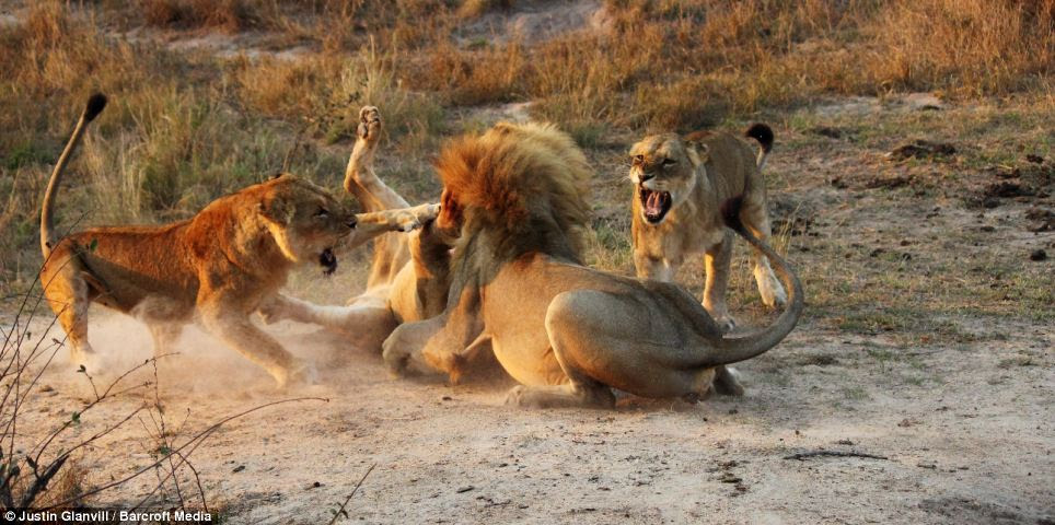 Involved: One of the females strikes out at the older male, while the other appears to be moments from pouncing