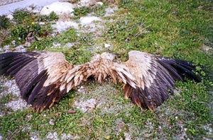 Un buitre leonado yace muerto a los pies de un aerogenerador, tras chocar contra sus aspas. (Foto: El Mundo)
