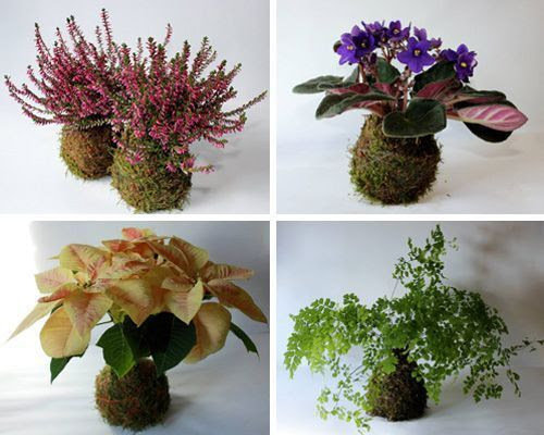 Kokedamas: 1.Brezos, 2.Violeta africana, 3.Poinsettia, 4.Helecho