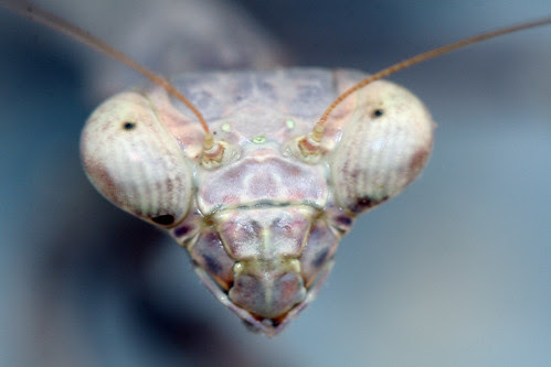 Mantid Head by pdecell