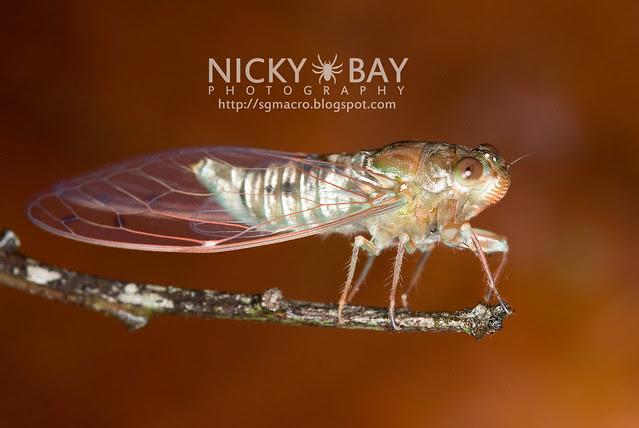 Cicada (Cicadidae) - DSC_9182