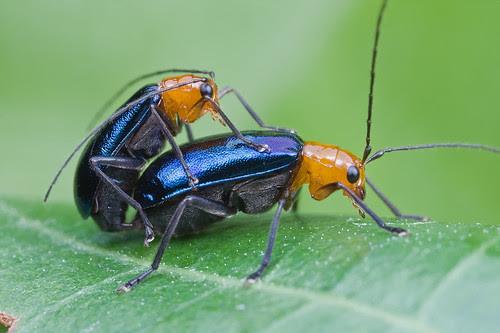 leaf beetles porn/sex IMG_0112 copy