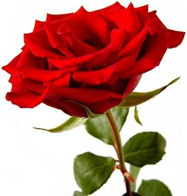 Resultado de imagen de la rosa más bella