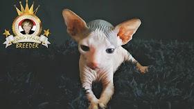 Kucing Lucu Warna Kuning