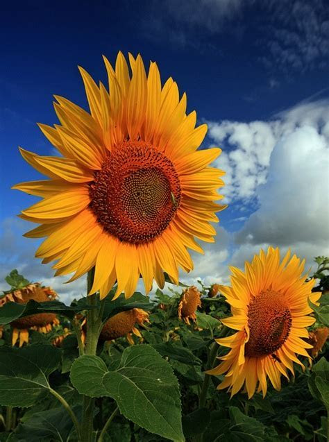 Wallpapers   Images   Picpile: Autumn beautiful sunflowers