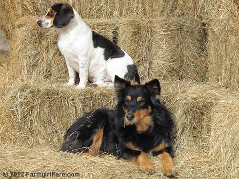 Bored beagle and stoic stock dog 3 - FarmgirlFare.com