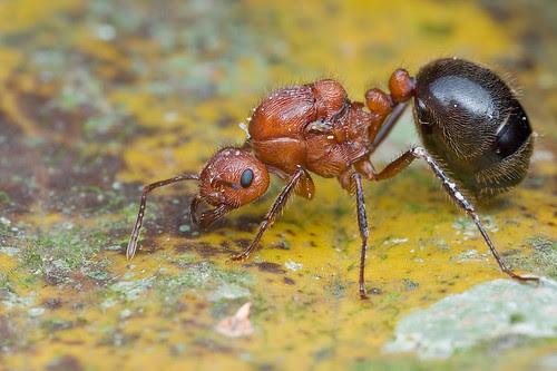 An ant queen, Myrmicaria sp.....IMG_9754 copy