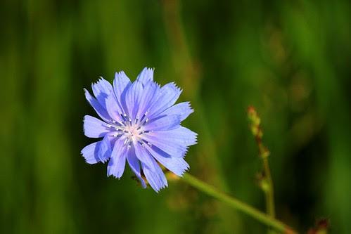 IMG_0149_Chicory