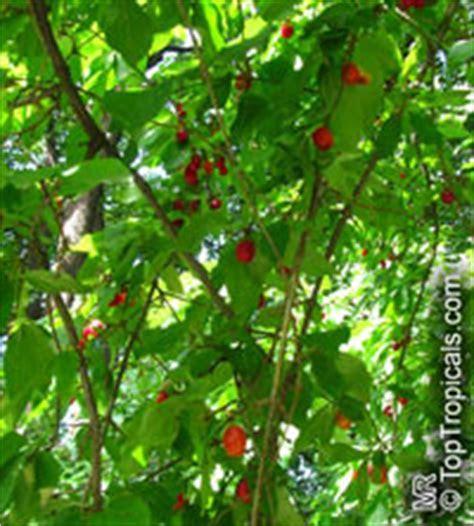Cornus mas, Cornelian Cherry Dogwood   TopTropicals.com