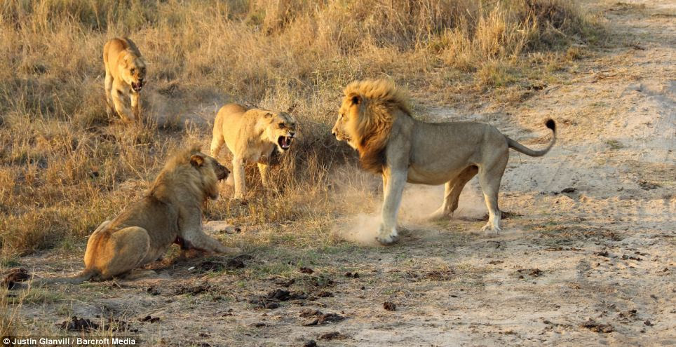 Defeat: The trio force the male to stand down, although tensions still seem to be high