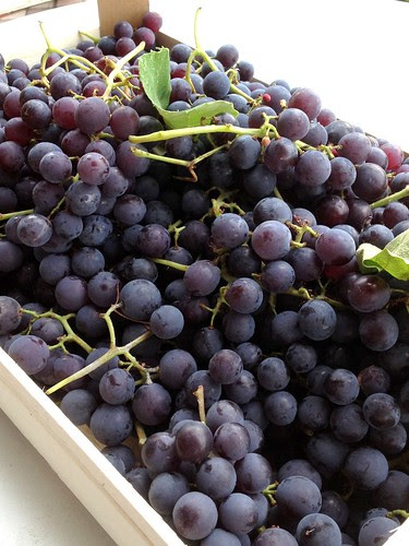 uva fragola-foxy grapes