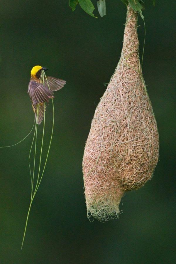 Weaver bird building nest.