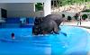 Fuerzan a un elefante a bucear en un tanque para entretener a los turistas en Tailandia