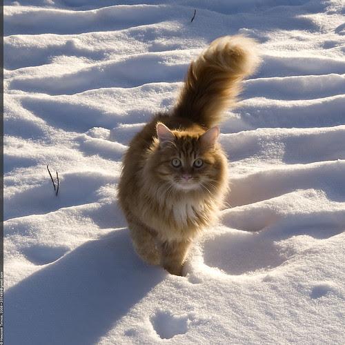 «Winter cat»