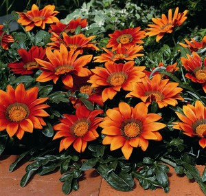 http://d3t0t2nqwmr1c9.cloudfront.net/photos/9751/Gazanias_Gazania_Splendens_Kiss_TM_Bronze-1.medium.jpg