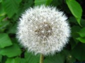 Dandelion blow 1