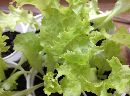 Windowsill Lettuce