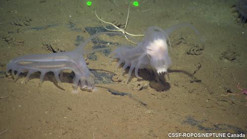 Sea Pigs