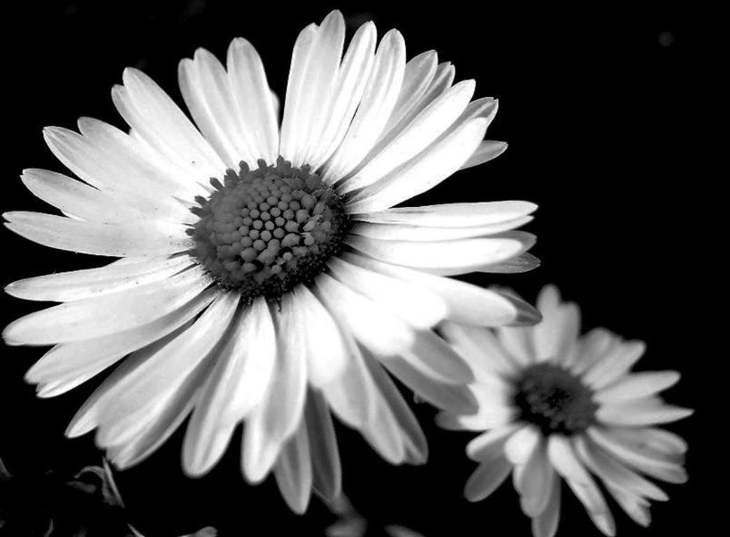 34 Daisies Photography Black And White Flowers 469 White