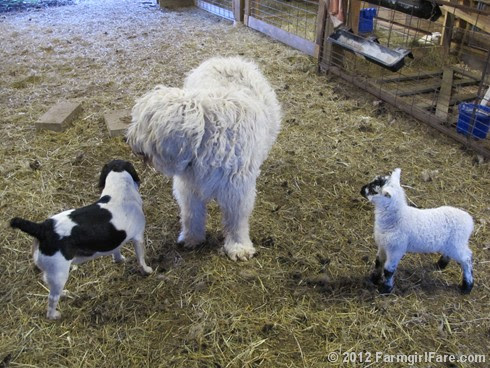 Farm dogs and little lambs 7 - FarmgirlFare.com