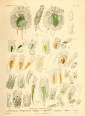 Brachionaea, Noteus, Anuraea