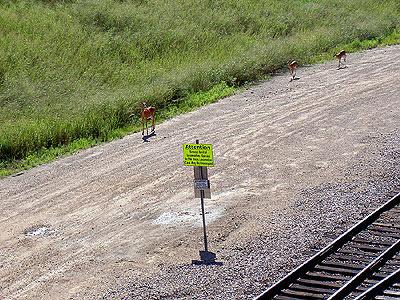 Deer along railway