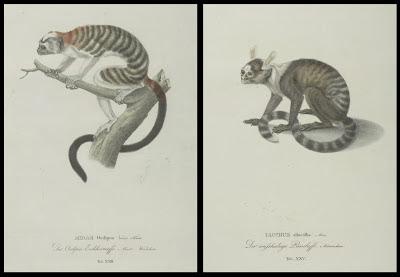 Midas oedipus and Iacchus albicollis