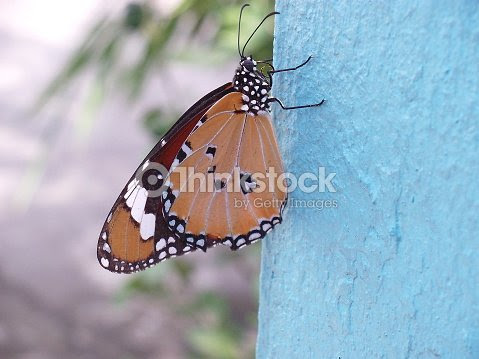 Butterfly Hanging On White Cement Wall Stock Photo Thinkstock