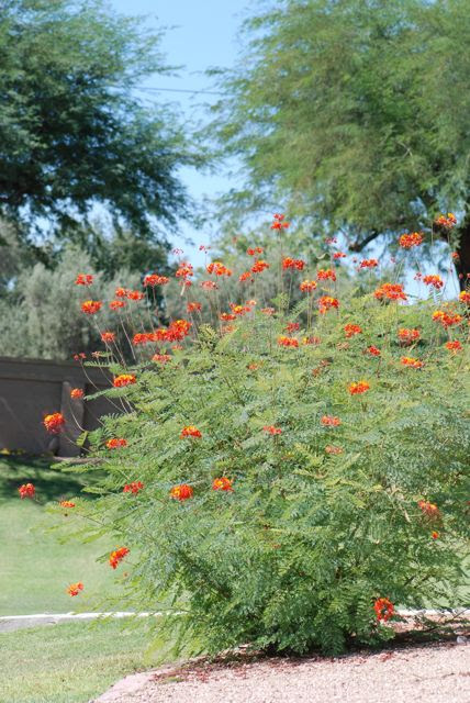 Pride Of Barbados Growing With Science Blog