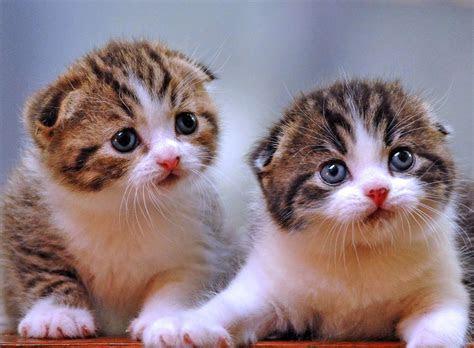 hewan lucu  hewan kucing persia images