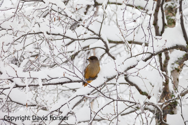 05D-0888 Siberian Jay Perisoreus infaustus Perched in Snow Covered Birch Tree Lapland Finland