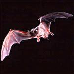 Mexican Bat