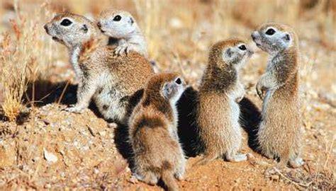 What Kind of Rodents Live in the Saharan Desert?   Animals   mom.me