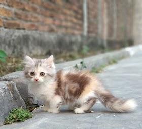 Kucing Lucu Kaki Pendek