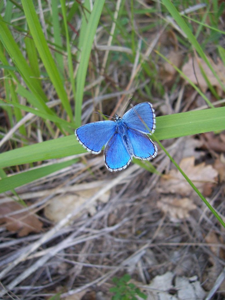 Photo de papillon Azuré bleu céleste